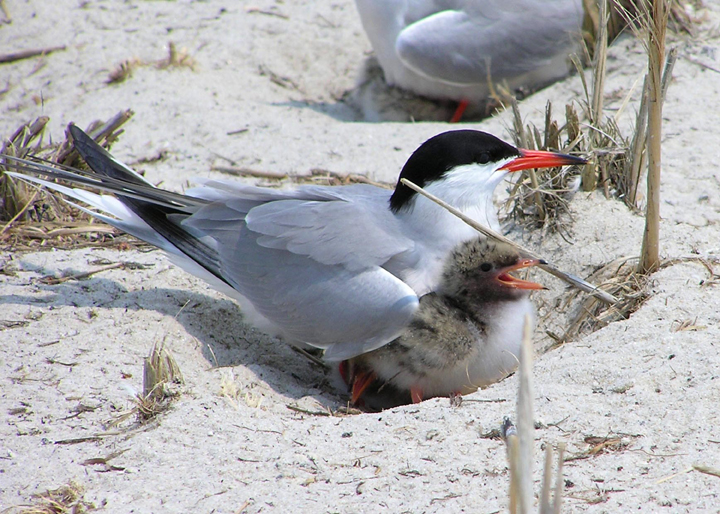 A common tern adult tends to its fuzzy brown speckled chick in a sand nest.